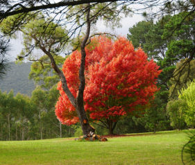 Jigsaw Puzzle Glorious Autumn Tree in field Blackheath NSW