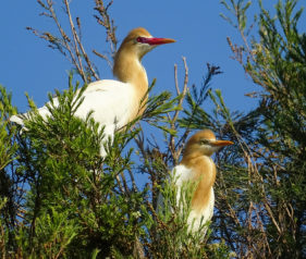 Cattle Egrets nesting in the Botanical Gardens Bundaberg Queensland
