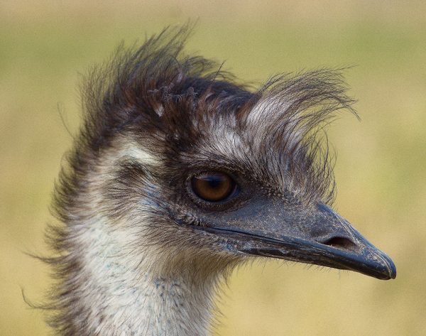 Young Emu patiently waiting while it has its photo taken