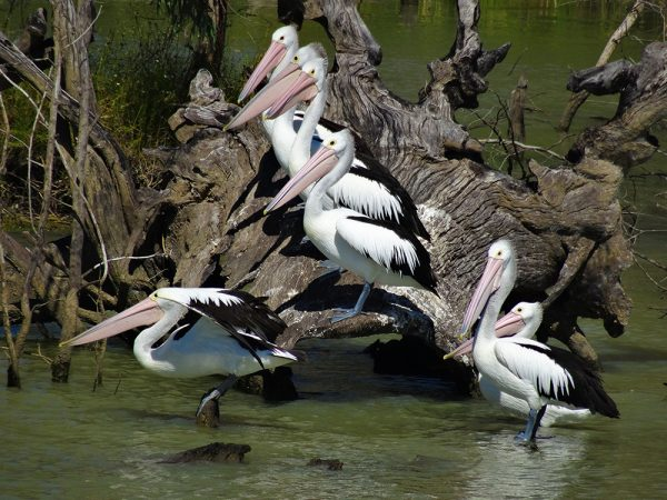 Pelicans standing like statues on tree in the Murray River