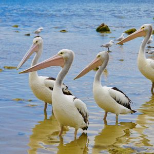 Pelicans and seagulls in the Blackwood River Augusta Western Australia