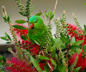 A Scaly Breasted Lorikeet feeding on the Bottlebrush Flower nectar