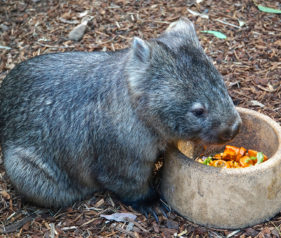Jigsaw Puzzle of Baby Wombat eating its Kumera and Carrots