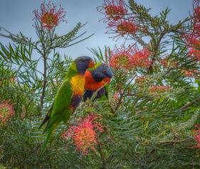 A pair of Rainbow Lorikeets feeding on the Grevilleas