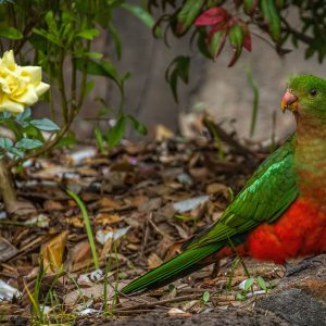 The King Parrot is foraging in the rose garden
