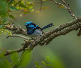 Superb Fairy Wren near the Hawkesbury River Penrith