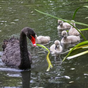 Black Swan with her new born Cygnets