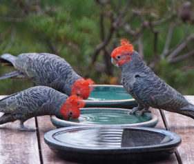 Jigsaw Puzzle of Gang Gang Cockatoo at the water bowls