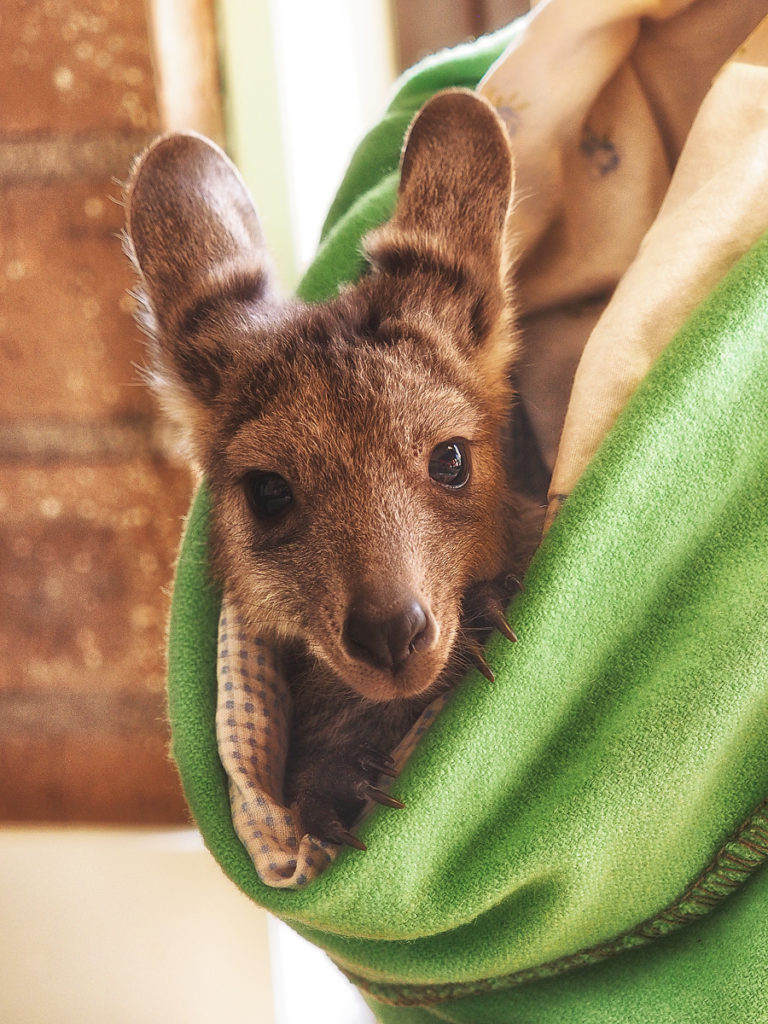 A Joey (baby kangaroo) making good progress in an animal hospital