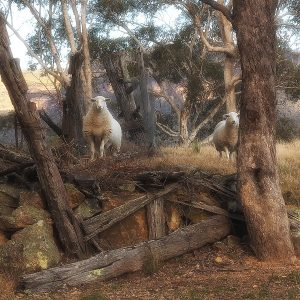 A pair of very inquisitive sheep in the Megalong Valley