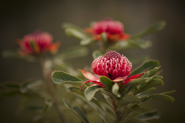 A spectacular image of the Waratah Flower